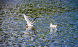 Seagull bird in fly Royalty Free Stock Photo