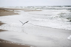 A seagull bird flying on the beach by the Baltic sea, Poland, spring time.. Stock Photography