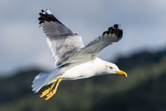 Seagull bird flying Stock Photos