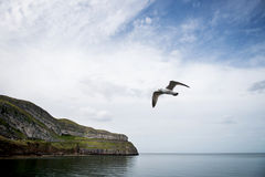Seagull Bird flying in Llandudno, England Royalty Free Stock Image