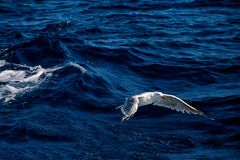 Seagull bird flying over the sea.  royalty free stock images