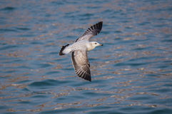 Seagull bird  flying over the sea. Close up of a flying seagull bird over the sea Royalty Free Stock Images