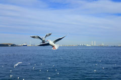 Seagull. Bird flying over water Royalty Free Stock Photography