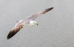 Seagull bird flying Royalty Free Stock Photo