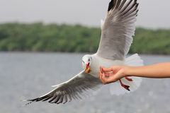 Seagull BIRD flying to eat food from woman feeding. Stock Photography