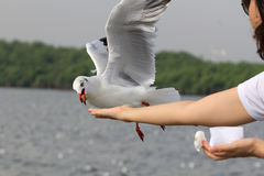 Seagull BIRD flying to eat food from woman feeding with food cru. Shing split floating in the air around the hand and the beak Stock Photos