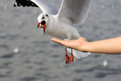 Seagull BIRD flying to eat food from woman feeding with food cru Stock Photo