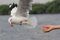 Seagull BIRD flying to eat food from woman feeding. Stock Photo