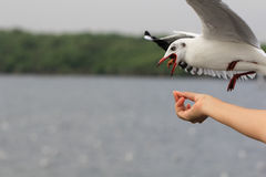 Seagull BIRD flying to eat food from woman feeding. Royalty Free Stock Photo