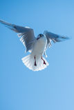 Seagull bird hovering Royalty Free Stock Image
