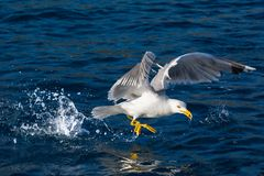 Seagull bird landing at sea Stock Photo