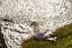 Seagull bird - Latrabjarg Iceland. Royalty Free Stock Photos
