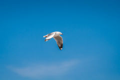 Seagull bird migrates from northern region of Asia to Thailand Royalty Free Stock Image