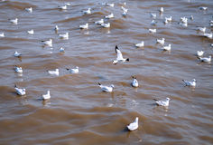 Seagull is a bird migration to Bangpoo Royalty Free Stock Photography