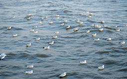 Seagull is a bird migration to Bangpoo Stock Photo