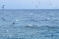 Seagull is a bird migration to Bangpu Royalty Free Stock Photography