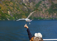 Seagull bird in Norway fjord Stock Photography