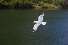 Seagull bird in Norway fjord Stock Photos