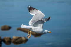 Seagull bird over the rocky coast. Seagull bird flying of the rocky cost in front of the sea Stock Photo