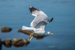 Seagull bird over the rocky coast Stock Photo