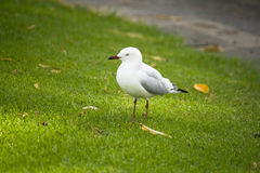 Seagull bird in Perth Royalty Free Stock Photo