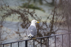 Seagull bird Royalty Free Stock Photography