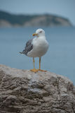 Seagull bird resting Royalty Free Stock Images