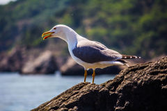 Seagull. Bird on a rock. Sea stock photo