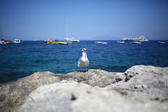 Seagull Bird On Rocks With Sea And Yachts On Background Stock Photo