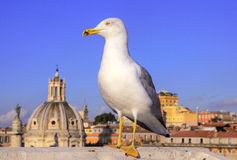 Seagull bird's eye view of city Rome Royalty Free Stock Image