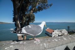 Seagull bird on scenic promenade street at Alcatraz island in San Francisco stock photos