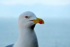 Seagull bird sitting with sea head detail Stock Photos