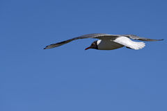 Seagull bird sky Royalty Free Stock Photos