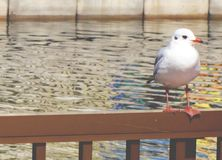 Seagull bird. Stand quietly and alone Royalty Free Stock Photo