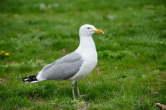 Seagull bird standing on green grass. Side view. Stock Photo