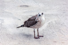 Seagull bird standing on his feet and attentively looking at the camera Stock Image