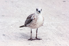 Seagull bird standing on his feet and attentively looking at the camera Stock Photos
