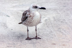 Seagull bird standing on his feet and attentively looking at the camera Stock Images