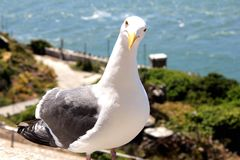 Seagull bird standing on his feet and attentively looking at the camera Royalty Free Stock Images