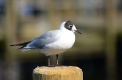 The Seagull bird is standing on a wooden pole. Royalty Free Stock Images