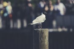 The Seagull bird is standing on a wooden pole. Stock Photography