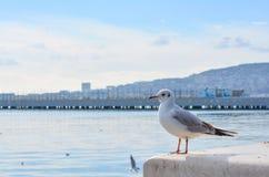 Seagull bird on the stone. Single seagull bird Stock Image