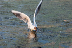 Seagull bird swamp Royalty Free Stock Photos