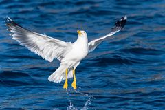 Seagull bird take-off Royalty Free Stock Photo