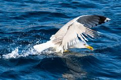 Seagull bird take-off Stock Images