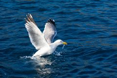 Seagull bird take-off Stock Photo