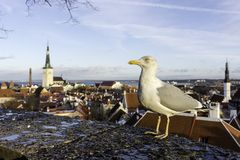 Seagull, bird, tallin, dramatic, oldcity, rainy, baltic states. Seagull, spotted on ramp, midday near oldtown at Tallin, Europ, Baltic states royalty free stock image