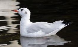 Seagull, Bird, Water Bird, Seevogel Stock Photo