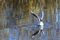 Seagull bird water Royalty Free Stock Photos