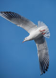 Seagull bird wings. Seagulls bird with large spread wings in the blue sky Stock Photos